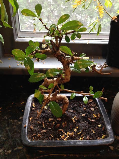 Bonsai losing leaves - Gardening & Landscaping Stack Exchange