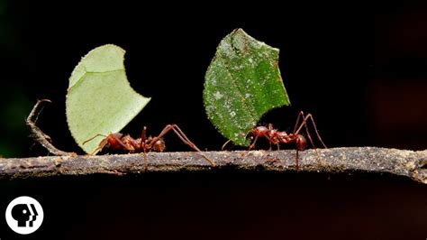 leafcutter ants cut leaves  carry