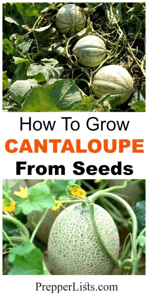 how to grow cantaloupe 34 best cantaloupe images on pinterest vegetables garden growing vegetables and gardening