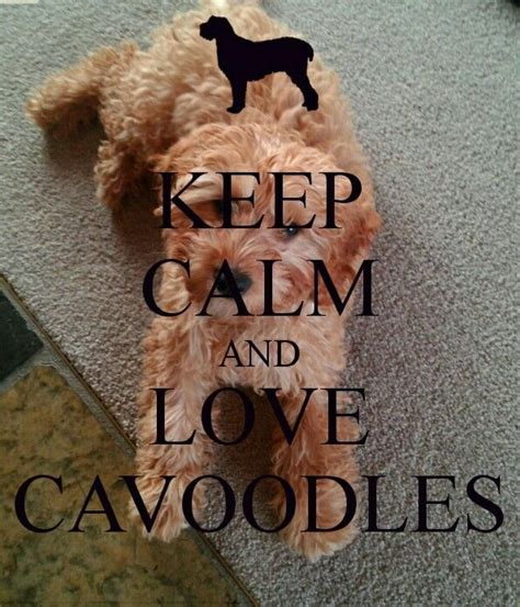 calm  love cavoodles  calm
