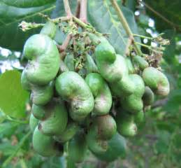 What Does a Cashew Nut Tree Look Like