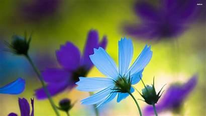 Cosmos Purple Flower Wallpapers Flowers Google Cosmo