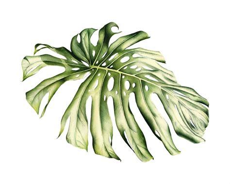 botanical illustration    shepherd