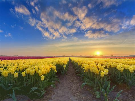 gold sunset netherlands spring flowers plantation  yellow red  pink tulips  ultra hd tv