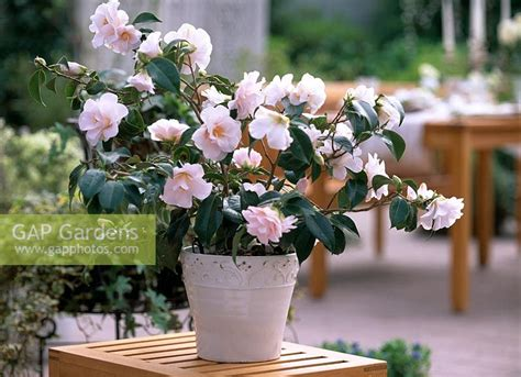gap gardens pot with camellia japonica berenice boddy image no 0017707 photo by