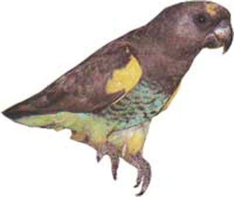 perroquet de meyer fiche d 233 taill 233 e oiseaux de cage et