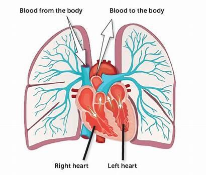 Lungs Heart Blood Pulmonary Hypertension System Circulatory