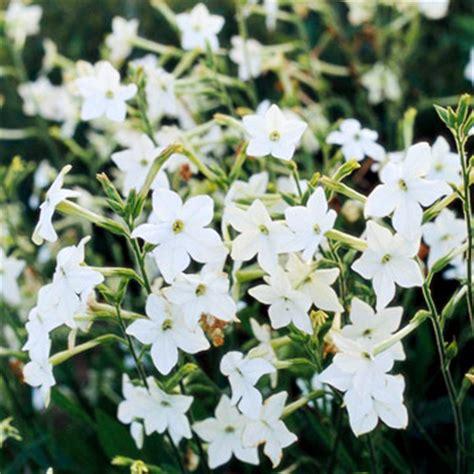 flowering tobacco tobacco flowers