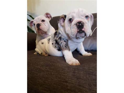 weeks  blue eyed akc english bulldog puppies