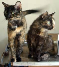 pictures of tortoiseshell cats daily photo reprise lunch photos later maybe