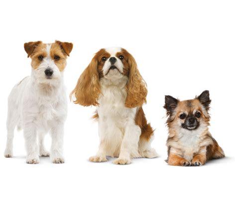 cani da appartamento le razze ideali royal canin