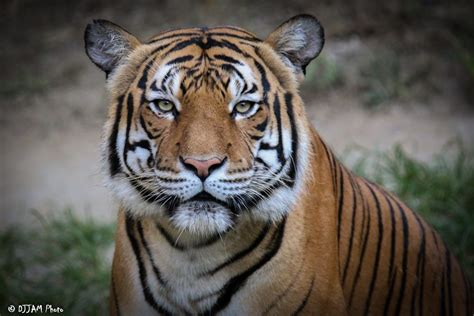 malayan tiger cincinnati zoo botanical garden