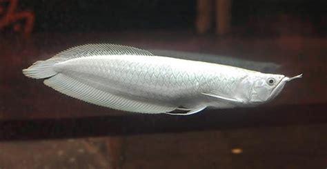 platinum arowana   expensive fish   world