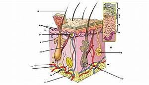 Skin Diagram Quiz   Biological Science Picture Directory