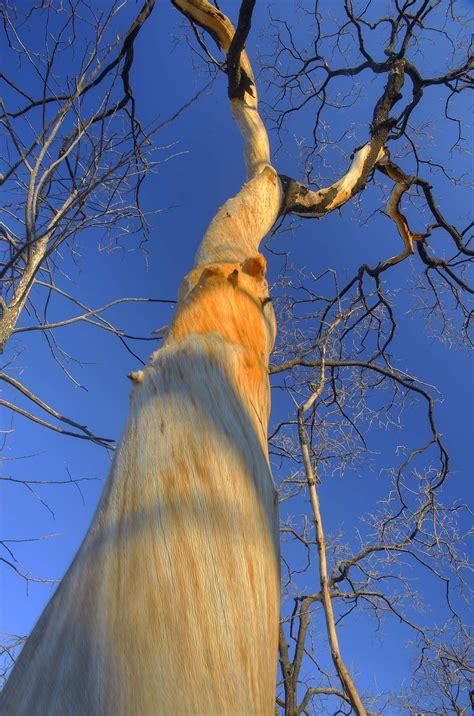 photo   oak tree  bark  bastrop state park
