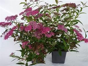 Rote Haselnuss Kaufen : heckenpflanzen kaufen spiraea bumalda 39 anthony waterer 39 rote sommerspiere ~ Michelbontemps.com Haus und Dekorationen