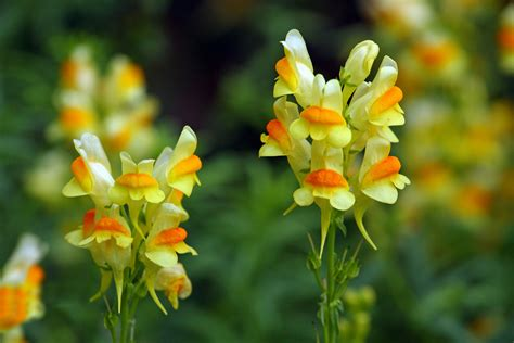 Spotlight On Snapdragon Home Décor: Toadflax Poisoning In Horses