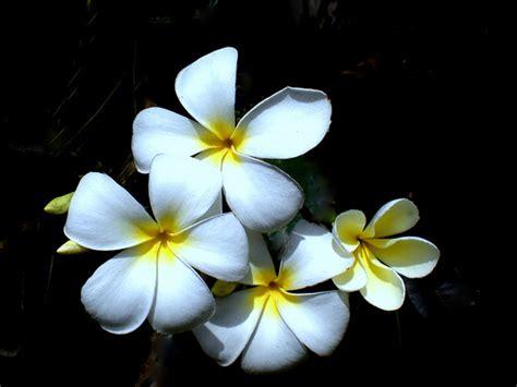 Jasmine Flower And Its Uses