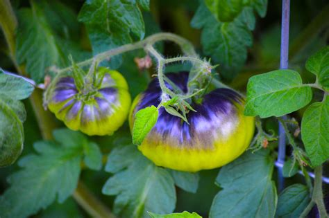 heirloom tomato plant care  growing guide