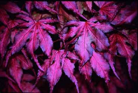 japanese maple purple ghost grobe s nursery and garden centre japanese maples