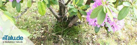 rhododendron durch stecklinge vermehren rhododendron vermehren durch ableger und stecklinge talu de