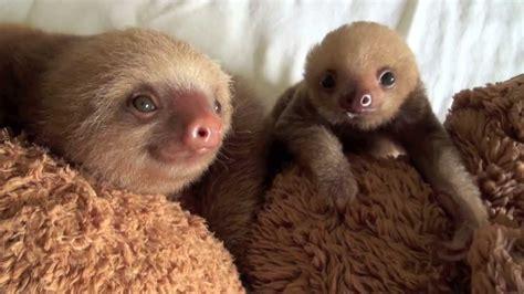 orphaned baby sloths kissing youtube