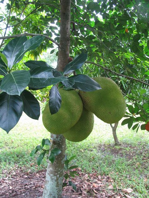 356 Best Images About Fruit Trees Of Florida & Other