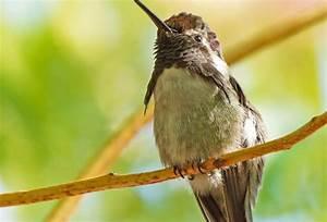 Costa's Hummingbird - BirdWatching