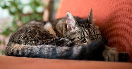 Cat Excessive Shedding by Cats And Shedding Cattime
