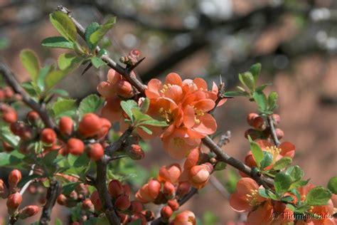 berlin blueten flora natur pflanzen quitten strauch