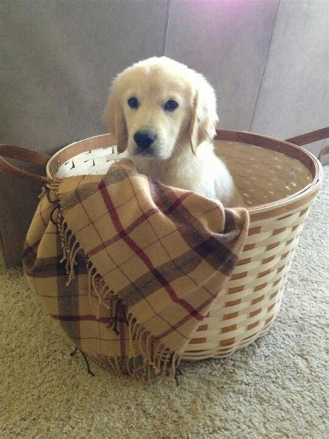 images  puppies  baskets  pinterest