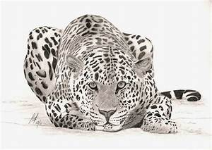 The Gallery For U0026gt Realistic Cheetah To Draw