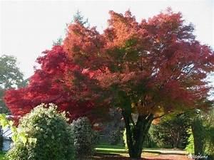 Arbres A Pousse Tres Rapide : arbres et arbustes erable du japon ~ Premium-room.com Idées de Décoration