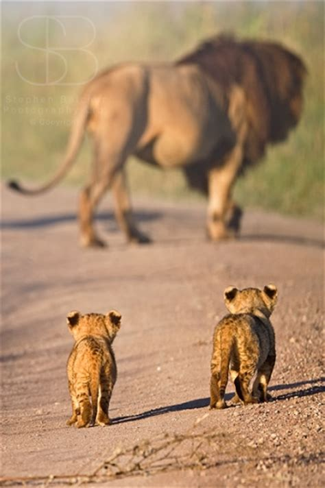 lions wildlife nature photography photography