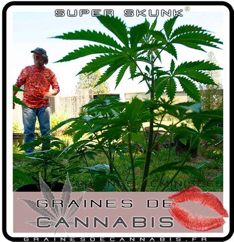 comment planter cannabis exterieur graines f 233 minis 233 es pour l ext 233 rieur