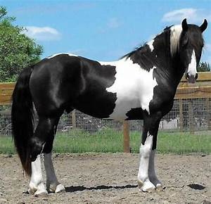 Black Paint | Horses | Pinterest