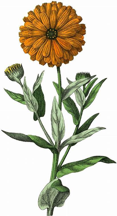 Botanical Marigold Flowers Graphics Drawing Illustration Prints