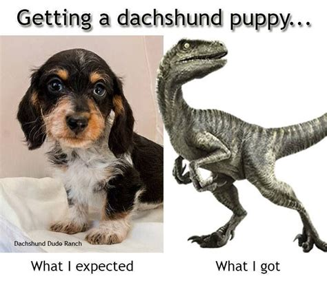 Dachshund Memes - 62 best dachshund memes and wiener dog humor images on pinterest dachshund dog dachshunds and