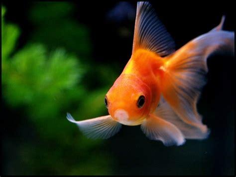poisson eau froide pour petit aquarium les poissons d eau froide eau tortues reptiles et accessoires pour animaux