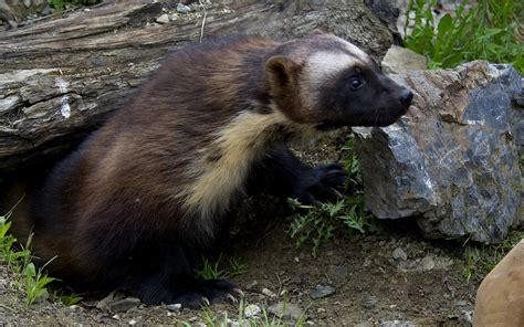 wolverine animal wallpaper gallery