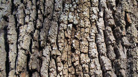 Free Photo Live Oak Tree, Bark, Brown, Grey  Free Image