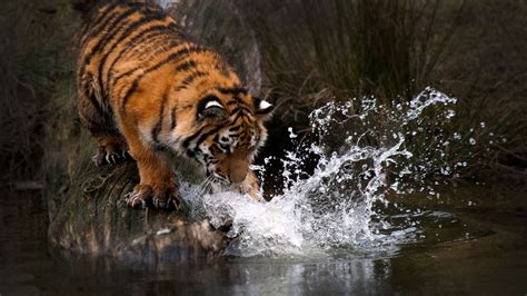 tiger water  hd animals  wallpapers images