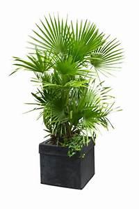 Palmen Für Draußen : palmen berwintern pflege winterharter palmen ~ Michelbontemps.com Haus und Dekorationen