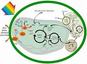 Conceptual Schematic Illustrating  For A Generic Algal Cell  The