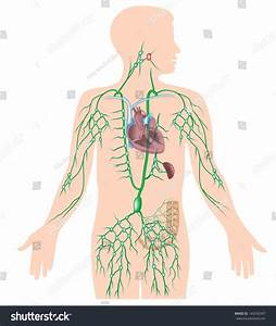 Lymphatic System Unlabeled Diagram Stock Illustration