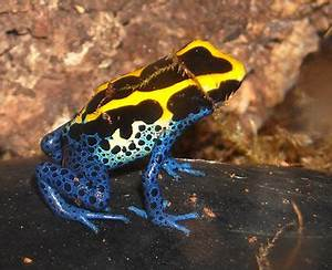 Purple Dart Frog | www.pixshark.com - Images Galleries ...