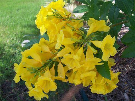yellow blooming bushes san antonio tx daily photo yellow flowering bush