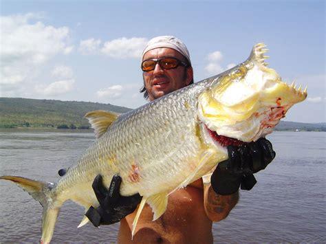 Goliath Tigerfish (hydrocynus