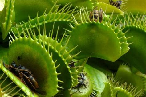 how to take care of a venus fly trap carnivorous plants venus flytraps florafauna com