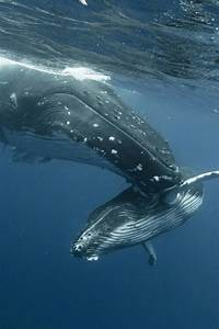 Mother whale with her baby.. | Gentle Giants of the sea ...